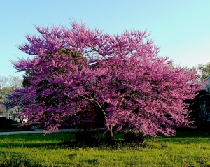 purple_tree