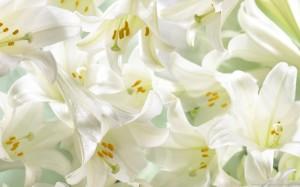 white-lilies